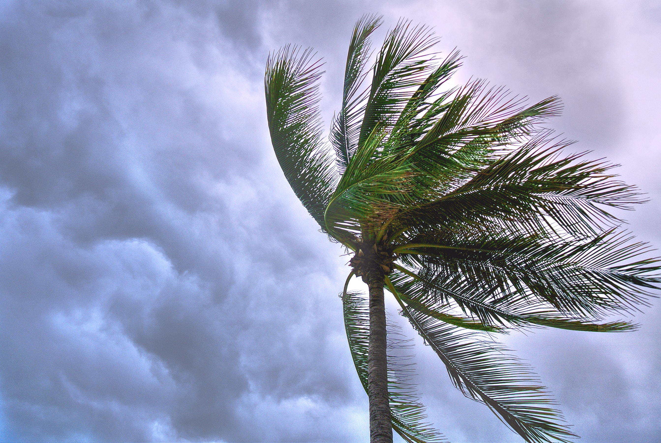 Palm ree blowing in the wind of an approaching storm